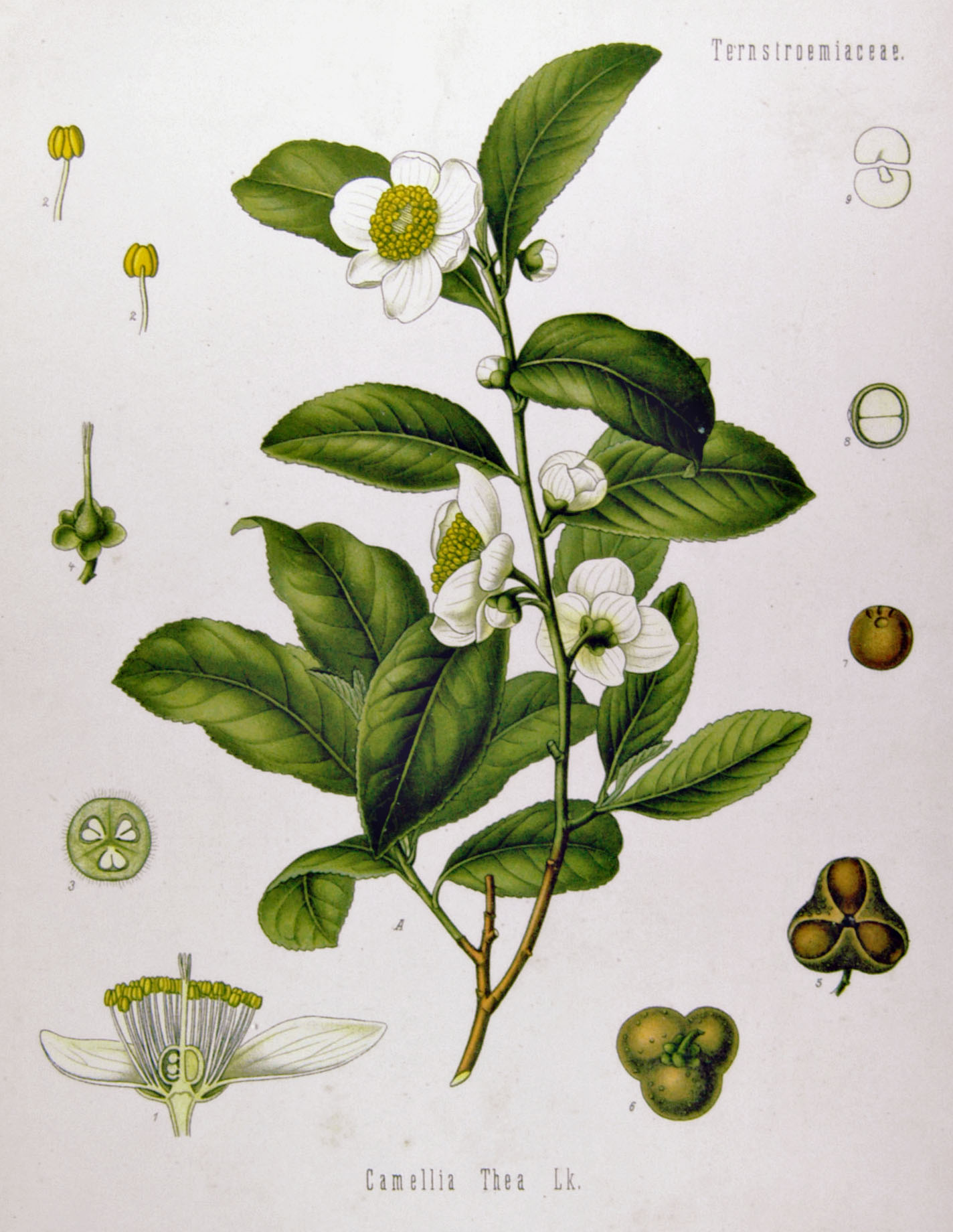 [Camellia sinensis]